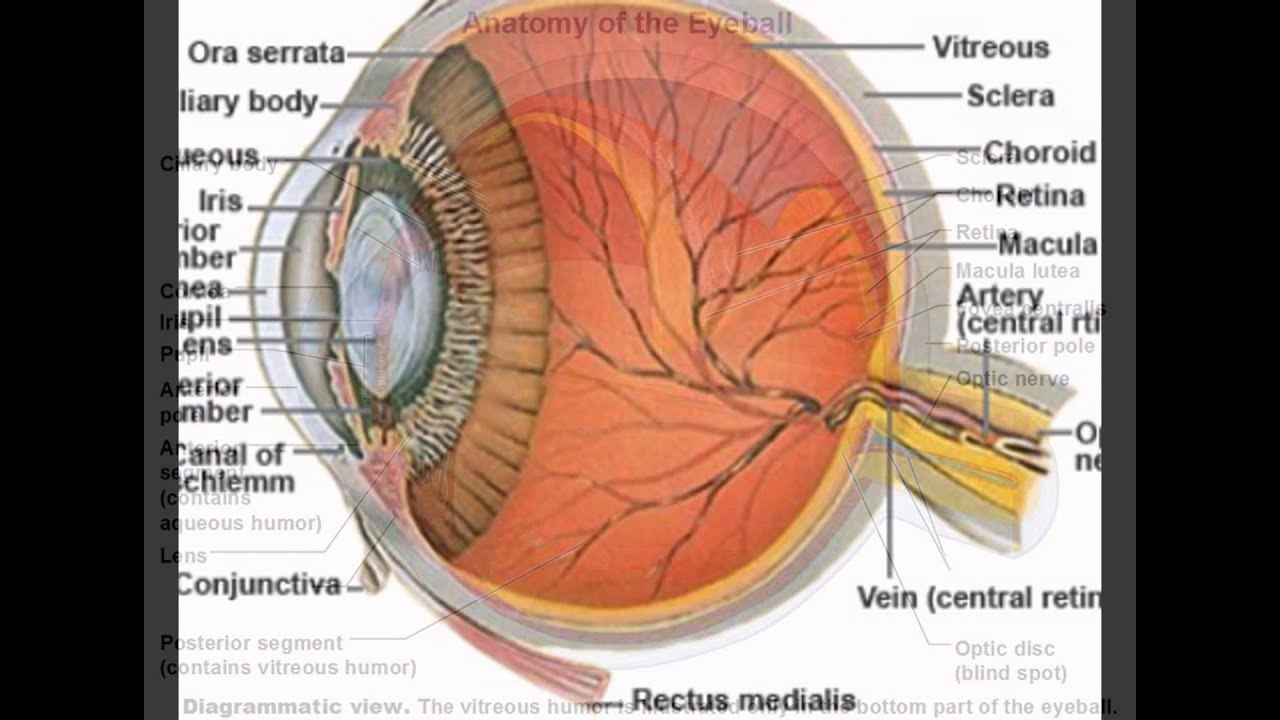 Function Of Sclera In Eye - YouTube