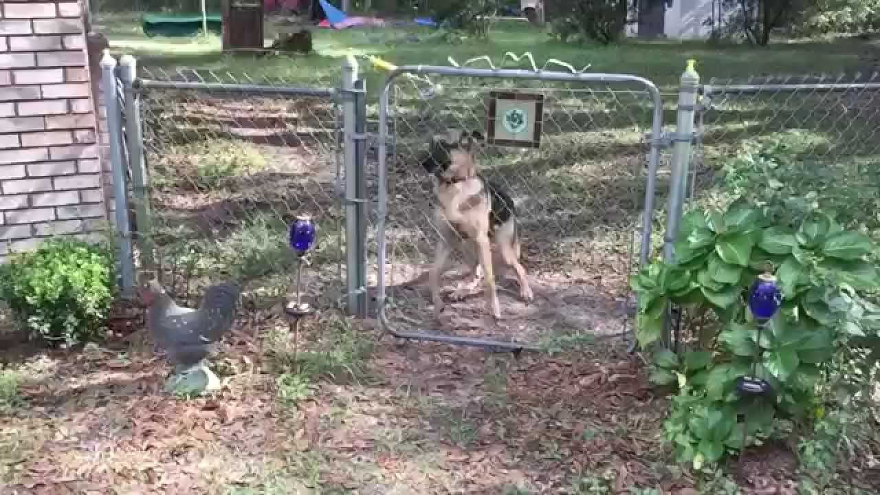 German Shepherd Puppy Gets Shocked By Electric Fence Youtube
