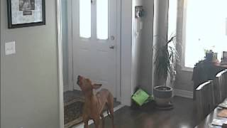 This is a recording of our Pharaoh Hound, Zuko, and his impressive ...