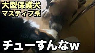 大型マスティフ系保護犬・アデ姉ちゃん大好き❤︎【72 74日目】