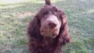 Standard Poodle -gabriel's Eyes