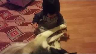 Siberian Husky Dog Fights With Baby For Toy Rope.