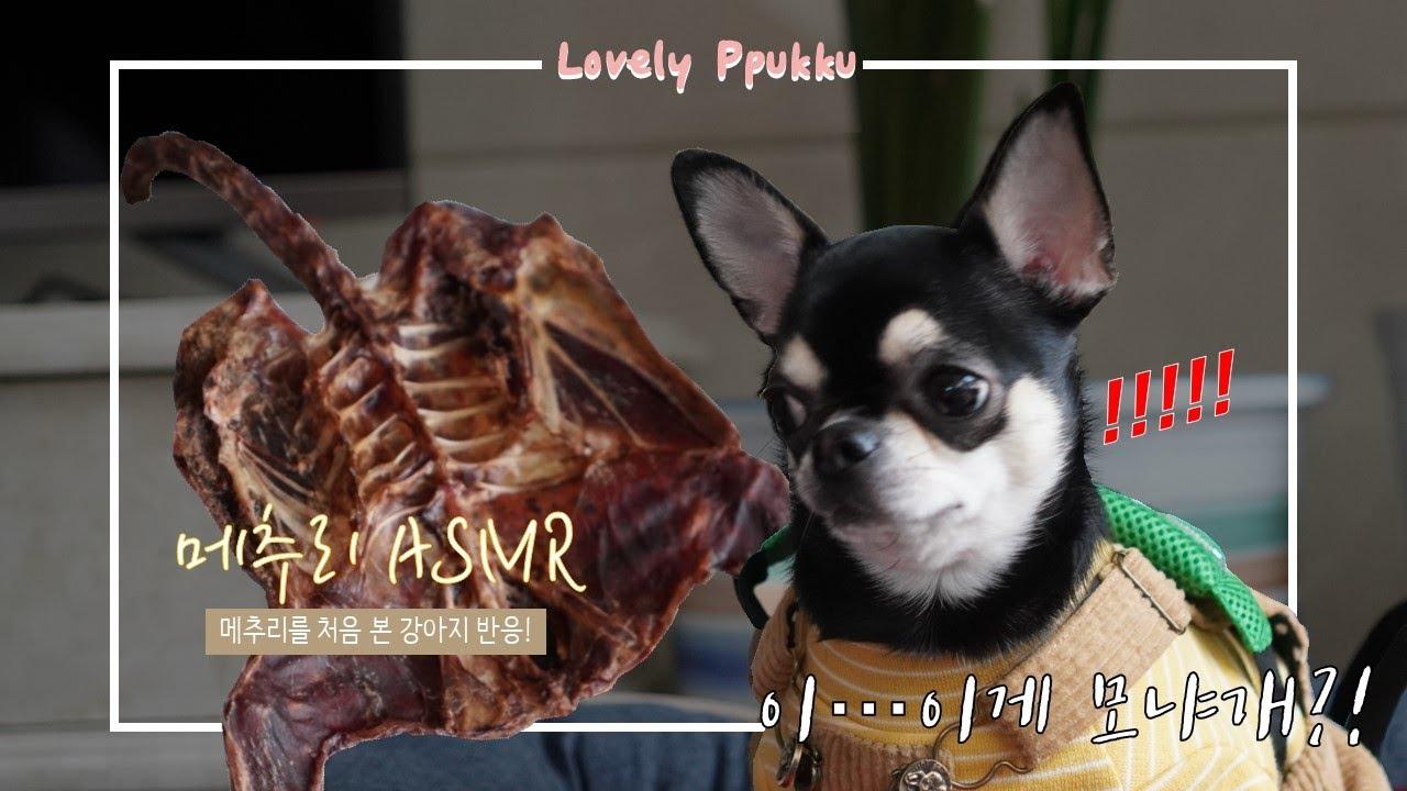강아지 간식 메추리 ASMR 메추리 처음 먹어보는 강아지 반응 원주 맛보시개 강아지 수제간식