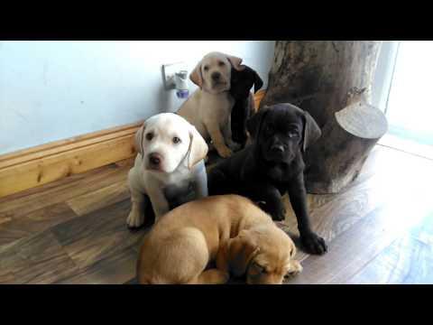 Labrador German pointer cross puppies | Eight weeks old | Just starting to walk around | #puppy