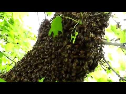 Understanding Honey Bee Swarms