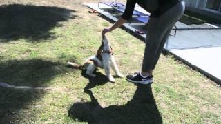 Angie Dog Training With Barbara Johnson (clip One) (3-09-15)
