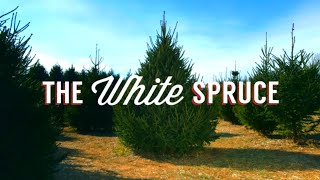 The White Spruce