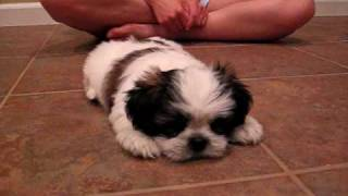 Cute Shih Tzu Puppy - Mini Cooper Barks