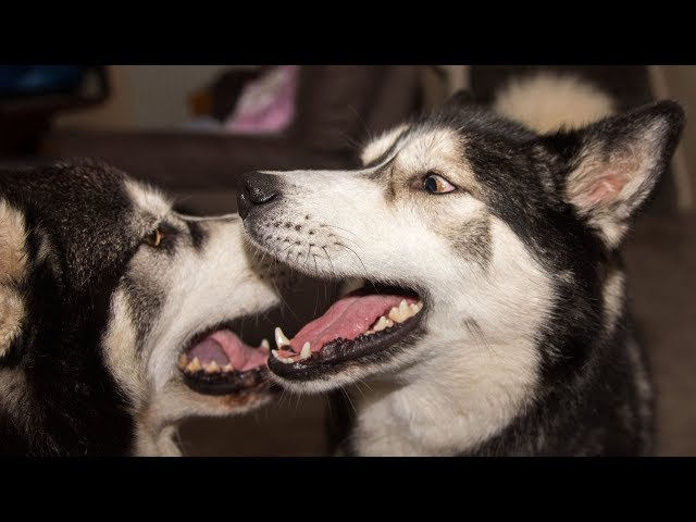 Husky/Malamute Shocked To Hear Best Friend Is Coming To Play
