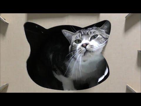 キャットハウスの完成が待ち遠しい猫リキちゃん☆隙あらばつめみがきしたい!【リキちゃんねる 猫動画】Cat video キジトラ猫との暮らし