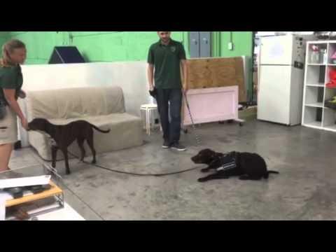 Service Dog Training For Autism Dog Training Miami Youtube