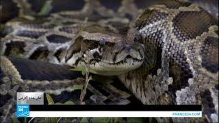 فيديو..حملة لصيد الثعابين في فلوريدا