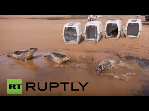 Russia: Five Grey Seals released into the wild, Leningrad Region