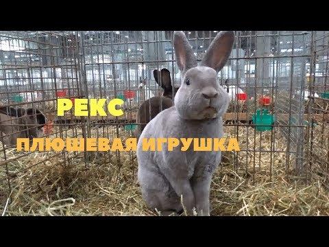 Все окрасы кроликов Рекс на выставке в Лейпциге