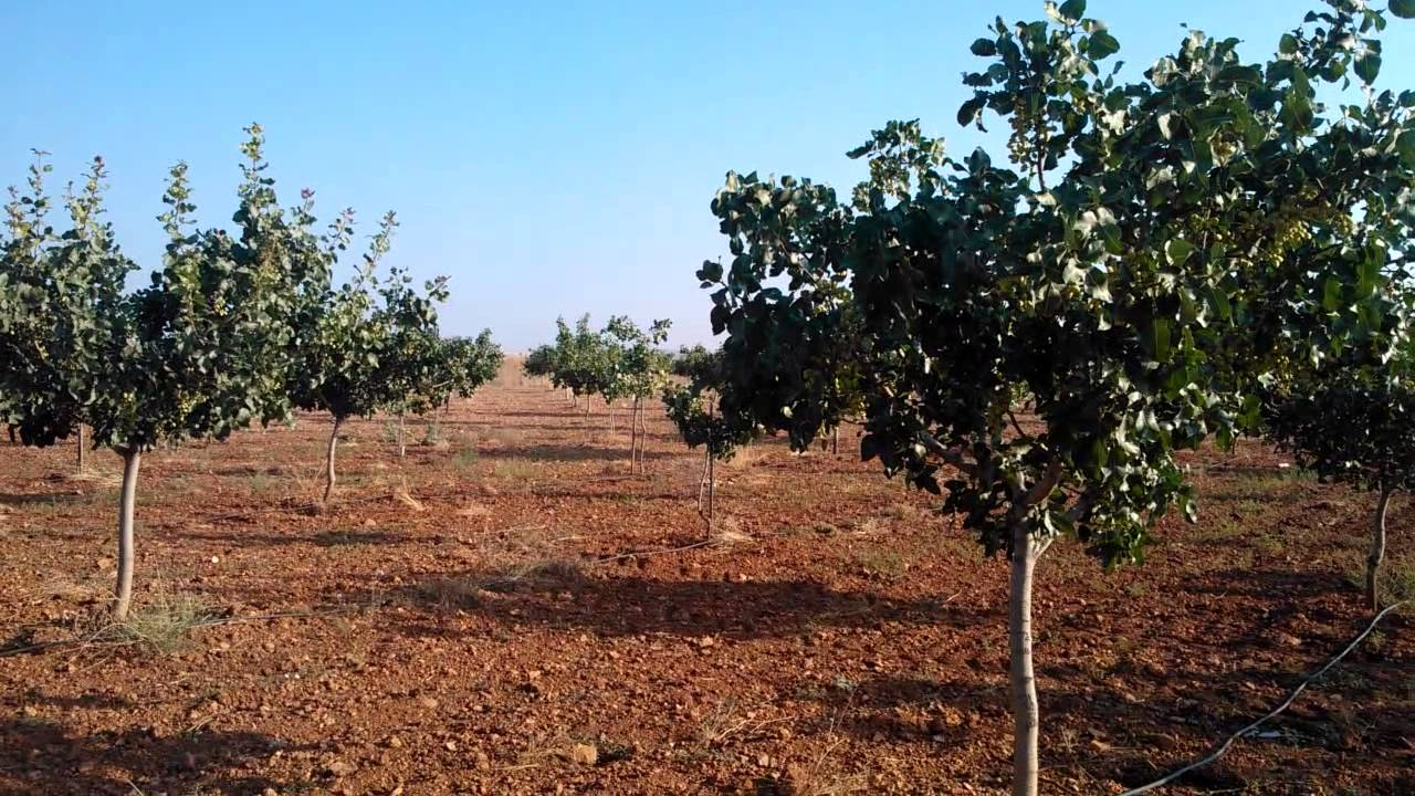 Plantacion pistachos de 7 a os en riego deficitario 16 de for Riego por goteo pistachos