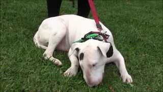 Aggressive Bull Terrier Attacks People And Dogs