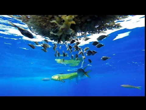 THE FLORIDA KEYS 2017- Grouper Mahi Hogfish Tuna Lobster Manetees Turtles and great music!