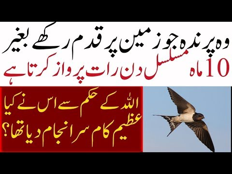 || Most wanted bird  in the world ||  ababil birds Life History in Urdu/HIndi