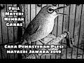 Cara Pemasteran Burung Pleci Secara Tepat Dan Akurat Versi Materi Yang Anda Inginkan  Mp3 - Mp4 Download