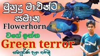 Green terror fish care in sinhala | #Green_terror