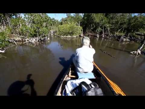 american crocodiles in Florida at Everglades National Park while canoeing #wildlife#