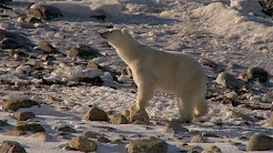 Polar bears fight for survival as sea ice melts