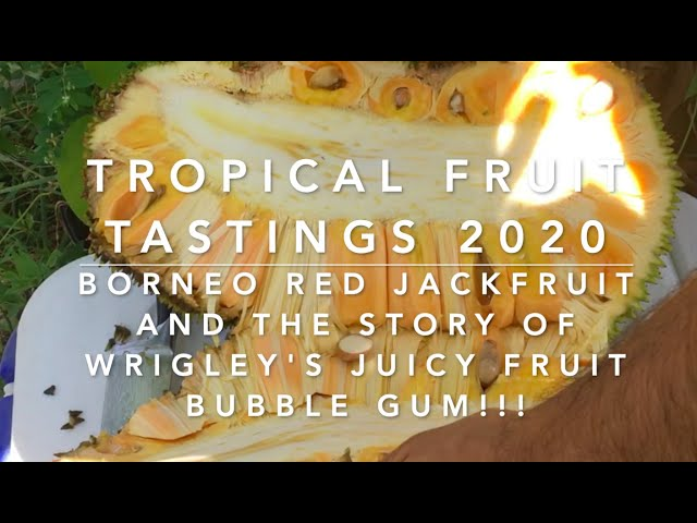 Tropical Fruit Tasting 2020 - Borneo Red Jackfruit & the story of Wrigley's Juicy Fruit Bubble Gum😻