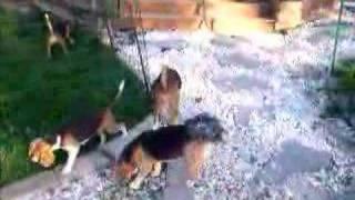 Scentini Beagles   Beagle Breeders