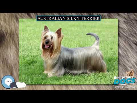 Australian Silky Terrier  Everything Dog Breeds