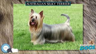 Australian Silky Terrier  Everything Dog Breeds