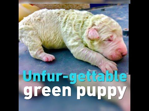 Pistacchio, el perro verde italiano
