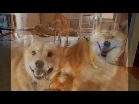 Shiba Inus Hoshi and Niwa begin to play in Rescue