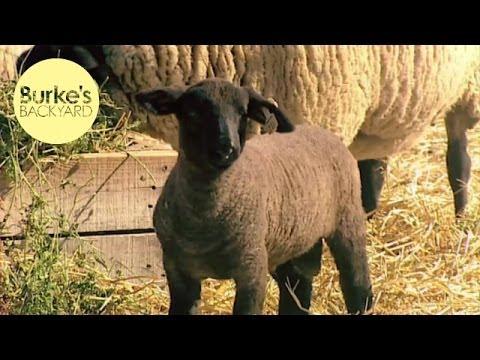 Burke's Backyard, Suffolk Sheep Road Test