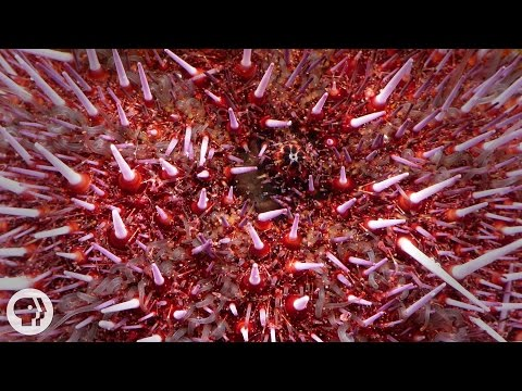Sea Urchins Pull Themselves Inside Out To Be Reborn | Deep Look