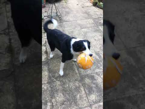 Best border collie dog trick         5 May 2018