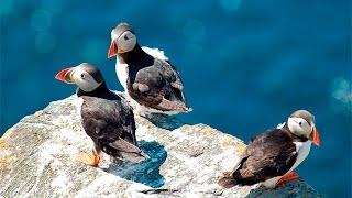 Ту́пики птицы (Puffin)