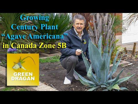 Growing Agave Americana, Century Plant Zone5B Canada 4K