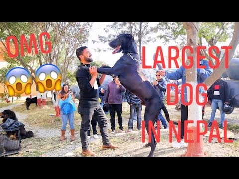LARGEST to SMALLEST DOGS in NEPAL || DOG SHOW || Met Asmi Shrestha with her DOG