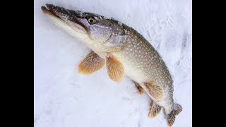Попытка взять мамку первая зимняя рыбалка на щуку