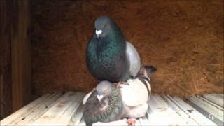 Pairing - Brown Hen and Blue Bar - Cuban Pouter - 1/14/2016
