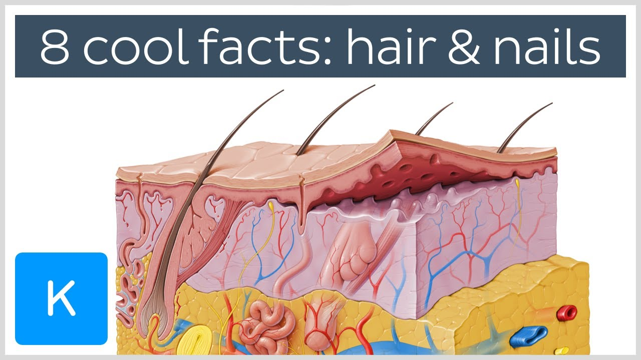 8 cool facts about hair and nails - Human Anatomy | Kenhub - YouTube