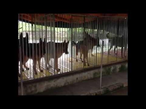 Trại chó Becgie Đỗ Ảnh (TP. Hưng Yên)