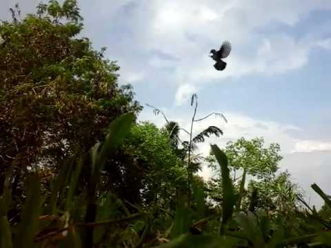 Mikat burung kutilang dapat 3 ekor