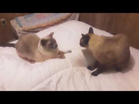 Siames cat talking to try to get Tonkinese cat / Ragdoll cat out of his spot. Raziel & Stormee