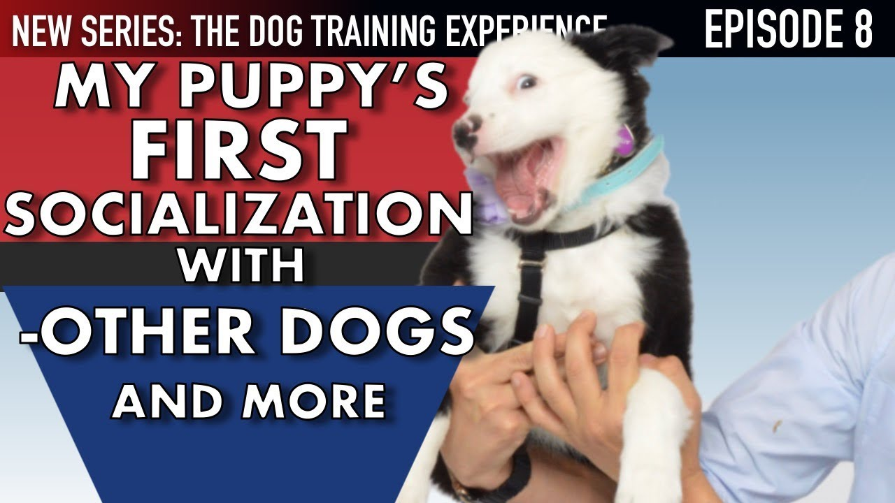 My New Puppy! How I Socialize My Puppy Around EVERYTHING! (Dog Training  Experience Ep  8)