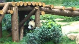澳門大熊貓館 Macau Giant Panda Pavilion (Part 2/2)