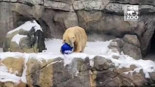 Polar Bear Anana Plays with Ball in Snow - Cincinnati Zoo