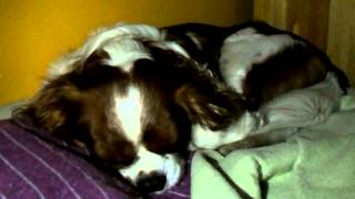 Cavalier King Charles Spaniel - After The Walk - [paca]