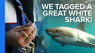 We Tagged a Great White Shark!