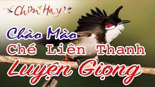 CHIM HAY | Chào Mào Hót Luyện Giọng - Ché Liên Thanh